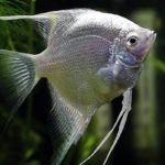 Скалярия снежная. Скалярия – это представитель семейства цихлид, рыбка, которая станет достойным украшением любого аквариума. Не совместимы с: неонами, гуппи (их рано или поздно ночью съедят), золотыми рыбками (они хрюшки, у них разный режим кормления, золотые рыбки нервные и скалярии их загоняют и общипают) не агрессивна. Живет более 10 лет.