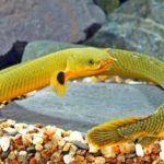 Уникальная особенность Каламоихта – это наличие не только жабр, но и легких, благодаря которым рыбка может некоторое время(до восьми часов, если его кожа будет влажной) находиться без воды и не погибнуть. В природе длина тела Рыбы-змеи до 90см (не подтверждено), диаметр примерно 1,5см. В неволе рыбки обычно меньше - наибольший размер в аквариуме-37см