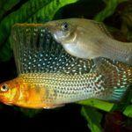 Валифера парусная. Размер рыб составляет 10-15 см. Для содержания данных рыб необходим большой или очень большой аквариум, объемом от 70 л, густо засаженным по периметру растениями с длинными листьями. В центральной части аквариума должно обязательно находиться свободное от растений место для плавания рыб. Должны присутствовать и плавающие растения, которые кроме декоративных функций, в будущем будут служить убежищем для мальков. В качестве грунта можно применить песок или гравий. На дне аквариума желательно разместить укрытия в виде камней, гротов или коряг, где бы рыбы могли прятаться. Аквариум должен иметь яркое освещение и обязательно накрыт крышкой, т.к. рыбы могут выпрыгнуть из него.