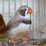 Амадины относятся к роду вьюрковых ткачиков, но никак не к попугаям, как считают некоторые. Хотя между ними есть что-то общее – яркая расцветка, южные страны, большое разнообразие издаваемых звуков (естественно без человеческой речи). Но все же внешне они больше похожи на раскрашенных воробьёв. Амадины неприхотливы в еде и уходе, по природе стайные, так что лучше приобрести несколько птичек, но будьте готовы к беспрерывному появлению птенцов.