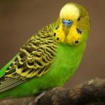 Если в двух словах, то содержать волнистого попугая просто: Следите за кормом в кормушках Меняйте воду каждый день Убирайте клетку каждый день Давайте полетать каждый день Разнообразьте питание фруктами, овощами и зеленью Раз в неделю давайте птичкам купаться Ну и, конечно, любите своих питомцев. Приемлемая температура содержания таких попугаев – от 20 до 25 градусов. Волнистые попугаи могут выдерживать и более низкие температуры, но для постоянного содержания желательно не опускать температуру ниже 18 градусов.